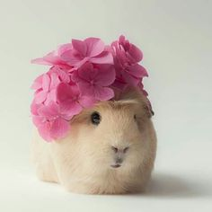 Cute Guinea Pig Collection