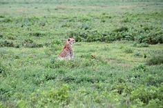 Cheetah by Yipski, via Flickr