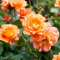"""ORANGE ROSES   An energetic, curious color comes with a meaning to match: """"fascination.""""   - HarpersBAZAAR.com"""