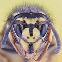 """German Wasp""!  Call A1 Bee Specialists in Bloomfield Hills, MI today at (248) 467-4849 to schedule an appointment if you've got a stinging insect problem around your house or place of business!"