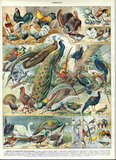 BIRDS 3  peacock pheasant cock swan etc  Vintage by FolieduJour, $15.00