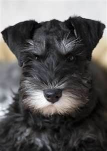 If you love Miniature Schnauzers, you'll enjoy the Image Search Results for Miniature Schnauzers by CLICKING the photo...via Yahoo.