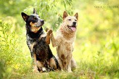 Tanja Schneider Aussie Cattle Dog, Austrailian Cattle Dog, Cattle Dogs, Aussie Dogs, Bulldog Puppies, Dogs And Puppies, Doggies, Baby Dogs, Australian Dog Breeds
