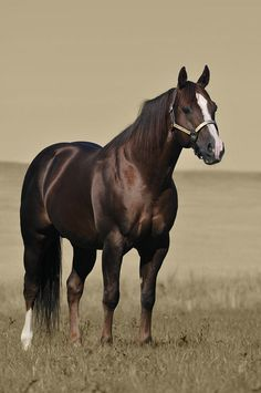 American Quarter Horse stallion-Smartest Magician, Silverstone Ranch beautiful liver chestnut color!!
