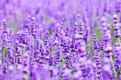 Обои Лаванда Поля Крупным планом Фиолетовый Цветы