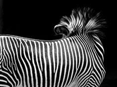 CHONG KOK YEW. Zebra