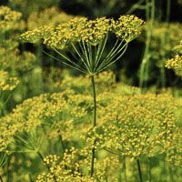 Mammoth Long Island Dill - A vigorous variety that seeds readily. Popular for pickling. Plant can grow up to 4′ tall if given the chance. One of the best producers of seed heads. Easy-to-grow. Direct seed in spring or late summer. Moderately frost-tolerant. Full sun. Annual.