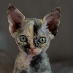 best pictures ideas of devon rex kitten - most affectionate cat breeds Cute Kittens, Pretty Cats, Beautiful Cats, Cool Cats, I Love Cats, Chat Bizarre, Curly Haired Cat, Devon Rex Kittens, Gato Calico