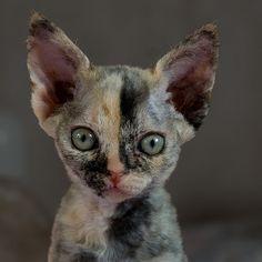 Devon Rex Kitten- AWE! Chessie by peter_hasselbom, via Flickr