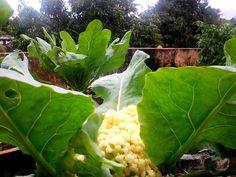 Blooming Garden: Growing Cauliflower, Planting Cauliflower, How to Grow Cauliflower in a Backyard Vegetable Garden Or Top of House