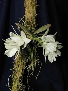 Andy's Orchids - Orchid Species - Aerangis - fastuosa