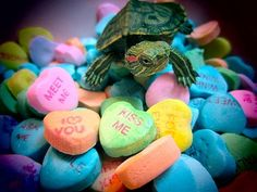 Remind your friends and family how much you love them. 20 Life Lessons We Can Learn From Turtles And Tortoises Turtle Time, Turtle Pond, N Animals, Cute Baby Animals, Cute Baby Turtles, Turtle Habitat, Tortoise Habitat, Turtle Images, Tortoise Turtle