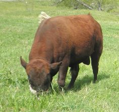 Miniature Breeds Of Cattle That Are Perfect For Small Farms Dexter Cattle, Fainting Goat, Small Farm, Small Breed, Livestock, Farm Animals, Goats, Cow, Horses