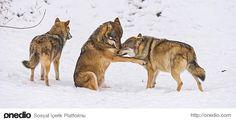 Bebek kurtların bakıcıları vardır. Anne ve baba kurt avlanmaya çıktığında, grubun diğer üyeleri bebek ile ilgilenir.