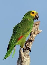 Znalezione obrazy dla zapytania papuga amazonka niebieskoczelna wystepowanie