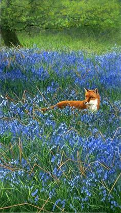 Fox in Bluebells: