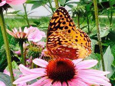 Butterfly on Coneflower, 1