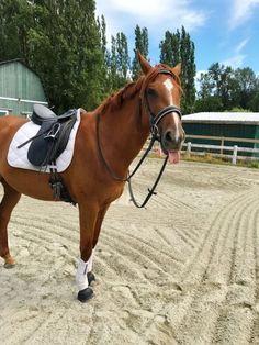 Cute Horses, Pretty Horses, Horse Love, Horse Photos, Horse Pictures, Most Beautiful Horses, Chestnut Horse, Horse World, English Riding