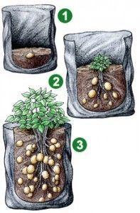 Aardappelen in een zak kweken