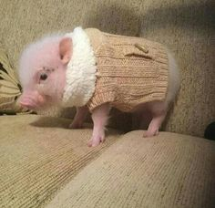 A pig in a sweater. #cute