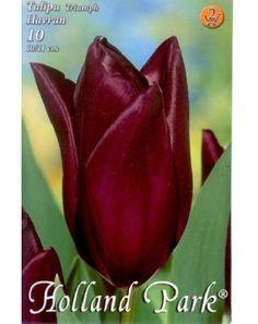 Triumph-típusú tulipán 'Havran' Holland Park, Plants, Park, Plant, Planets