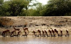 Impalas drinking water.