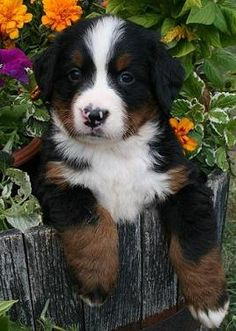Bernese Mountain dog pup... Aww so adorable. Maybe I can stick a new little love dog in my flower garden and take a photo!