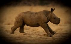 causes: save endangered animals: With a population of fewer than the Javan rhino is at significant risk of extinction. This species is one of the rarest and most critically endangered mammals on earth. Sumatran Rhino, Rhinoceros, Animals Beautiful, Cute Animals, Unusual Animals, Rhino Poaching, Save The Rhino, Baby Rhino, Types Of Animals