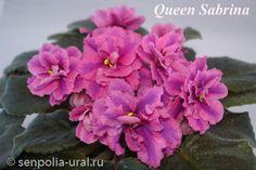 Queen_Sabrina химера полумини