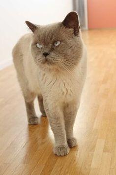 Unser hübscher, verschmuster BKH Kater sucht kuschelige Stunden zu zweit.   Unser weisser Leo mit blauen verführerischen Augen empfängt gesunde rollige Katzendamen.   Er ist gross, kräftig, anhänglich und erfahren. Der Deckpreis beträgt CHF 300.00   Inkl. Nachdeckung.   Er freut sich auf Ihren Besuch