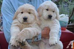 golden retriever puppies 4 weeks old | AKC Golden Retriever Male Puppy - 9 Weeks Old for sale in Torrance ...