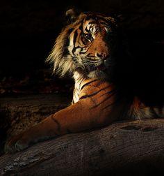 Tigre zoo barcelona