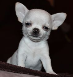 Effective Potty Training Chihuahua Consistency Is Key Ideas. Brilliant Potty Training Chihuahua Consistency Is Key Ideas. Chihuahua Facts, Baby Chihuahua, White Chihuahua, Cute Puppies, Cute Dogs, Dogs And Puppies, Doggies, Baby Animals, Cute Animals
