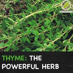 Thyme - A Powerful Herb Growing in Many Gardens increase energy essential oils