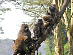 Safarious - Alan Jeffery - African Monkeys