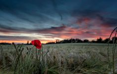 Photo evening poppy by mark rosser on 500px