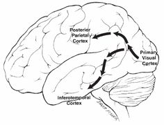 Where is my mind? » Brain and Behaviour: 5. Processing visual information