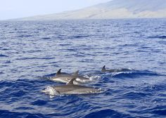 Dolphins in Maui, Hawaii