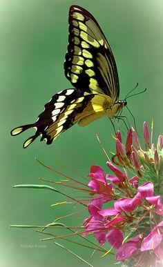 Incredible Delicate Butterfly... Just Perfect.