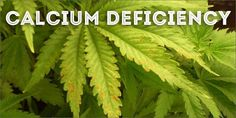 How To Grow Marijuana Step 3: Troubleshooting & Solutions