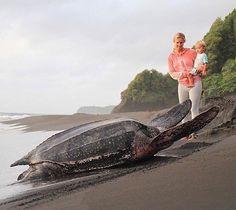 Huge leatherback sea turtle  #leatherback #seaturtle #saveseaturtle #saveturtles