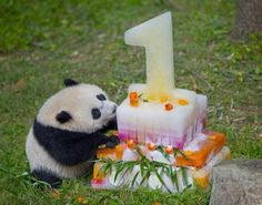8-23-2014 Bao Bao The cake was specially created by the Zoo's Nutrition department.