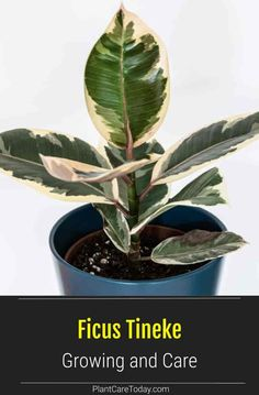 Plants Indoor, Indoor Gardening, Outdoor Plants, Potted Plants, Inside Plants, All Plants, Rubber Plant Care, Small Ornamental Trees, Trees To Plant