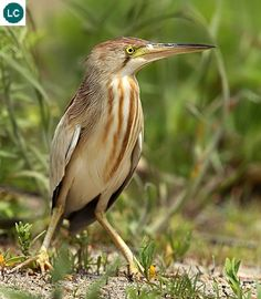 https://www.facebook.com/WonderBirdSpecies/ Yellow bittern (Ixobrychus sinensis); Indian Subcontinent east to Japan and Indonesia; IUCN Red List of Threatened Species 3.1 : Least Concern (LC)(Loài ít quan tâm) || Cò lửa; Họ Diệc-Ardeidae (Heron); Tiểu lục địa Ấn Độ đến phía đông Nhật Bản và Indonesia.