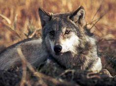 <3 Wolfy