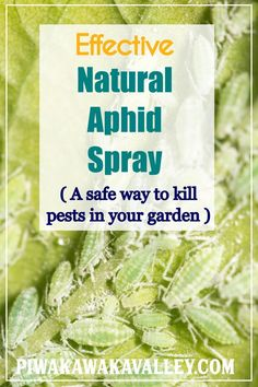 I am not a fan of pesticides, but sometimes the aphids or whitefly get too overwhelming. In that instance, I reach for a batch of my garlic and neem oil spray recipe. This is a fabulous organic pest and bug spray. It is good to use in the garden as it is nontoxic to humans and bees but is effective to chewing insects like caterpillars and whitefly. #piwakawakavalley #gardening #organicgarden #pestcontrol #homesteading