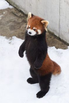 Red pandas are small mammals with long, fleecy tails and red and white markings. In spite of the fact that they share a name with the more renowned goliath panda, they are not firmly related. Cute Funny Animals, Cute Baby Animals, Cute Dogs, Red Panda Tattoo, Red Panda Cute, Panda Mignon, Panda Drawing, Animal Facts, Fluffy Animals