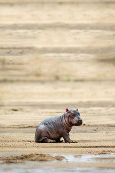 Baby Hippo/ Will Burrard-Lucas Cute Hippo, Cute Baby Animals, Funny Animals, Nature Animals, Animals And Pets, Beautiful Creatures, Animals Beautiful, Baby Hippopotamus, Mundo Animal