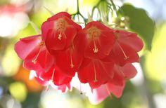 Strawberry Snowball Tree Flowers (Dombeya cacuminum) at LA County Arboretum (2-28-11)
