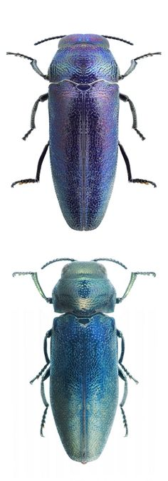 Coraebus elatus blue forms